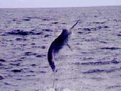 Blue Marlin jumping