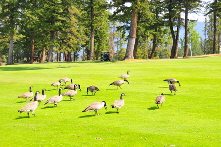 Canada Geese on golf course