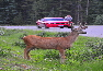 Deer by road