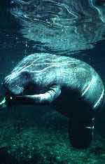 Manatee book photo by Timothy O'Keefe